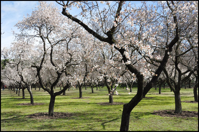 Garden of almond trees